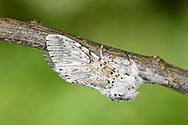 Puss Moth - Cerura vinula