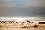 A bull elk herding his harem during the elk rut in Jackson Hole Wyoming