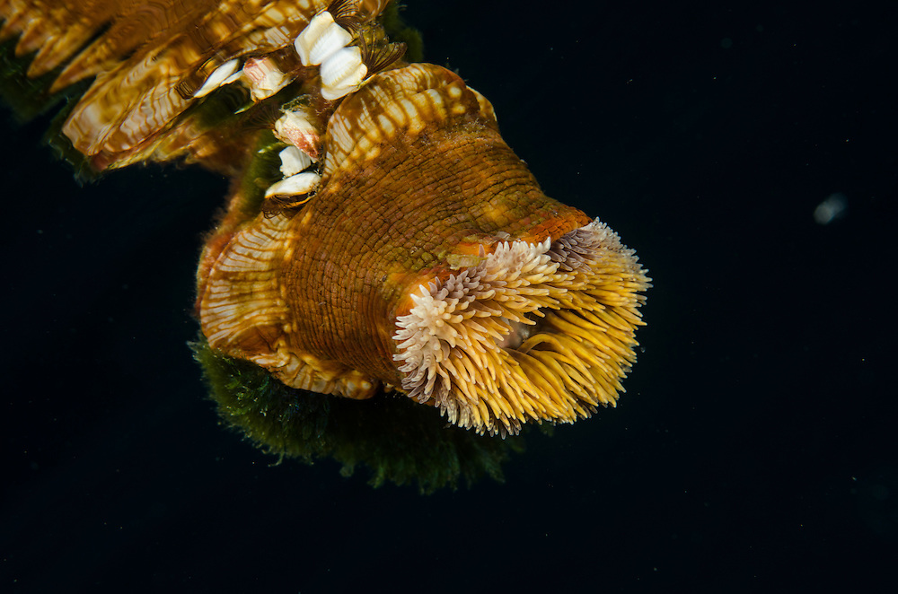 Mokohinau Islands, Burgess Island Pelagic Anemone, Calliactis sp