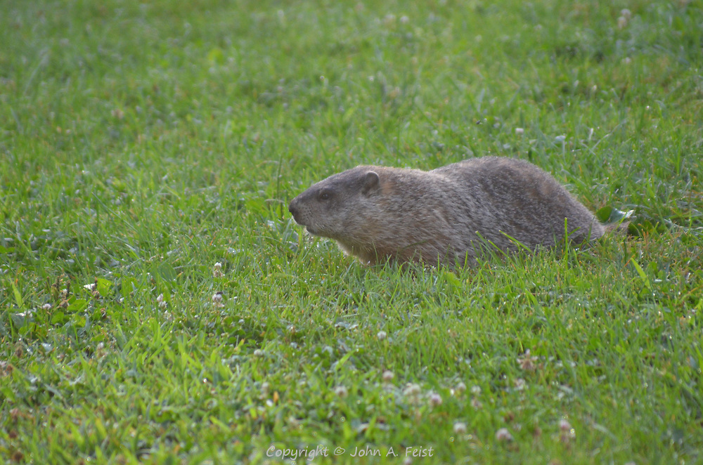 Woodchucks abound in some parts of the Omega Institute in Rhinebeck, NY.