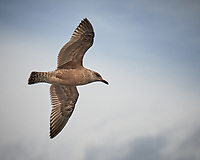 Gull. Viewed from the deck of the MV World Odyssey. Image taken with a Fuji-X-T1 camera and 55-200 mm lens (ISO 200, 156 mm, f/4.5, 1/950 sec).