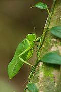 Giant Narrow-winged Leaf Katydid (Steirodon sp.)<br /> Iwokrama Forest Reserve<br /> GUYANA<br /> South America