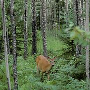 Whitetail Deer, (Odocoileus virginianus) Doe browsing on lush green vegetation in forest.