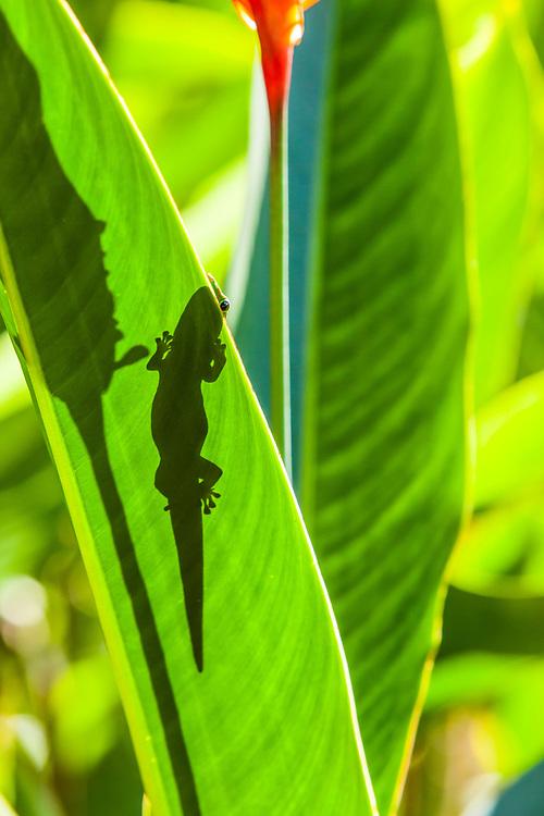 A Gecko on a plant leaf peaking over the edge of the leaf, Puna, Hawai'i, Hawaii, USA.