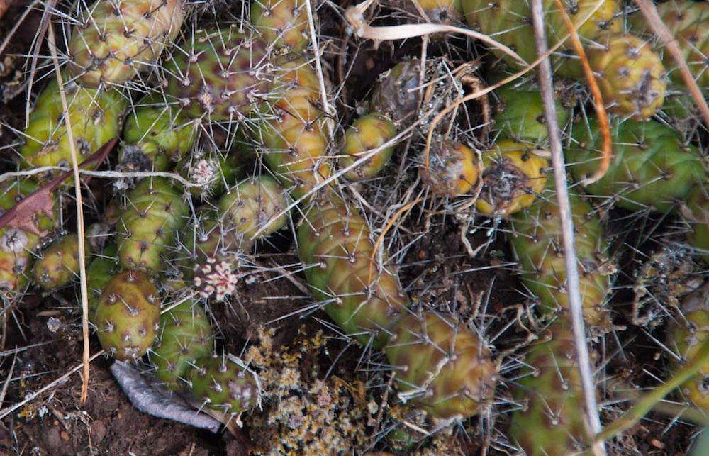 Brittle Cactus (Opuntia fragilis), Yellow Island, San Juan Islands, Washington, US