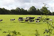 Livestock, fresian, angus, cross, beef, farming, grass, paddock,