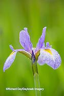 63899-05310 Blue Flag Iris (Iris versicolor) in wetland, Marion Co., IL