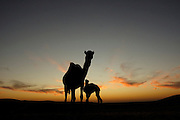 Israel, Negev Desert, a female Arabian camels (Camelus dromedarius) feeds her new born offspring at sunset