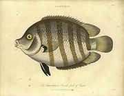 "Handcolored copperplate engraving of Chaetodon fish. A tropical fish genus in the family Chaetodontidae. Like their relatives, they are known as ""butterflyfish"". From the Encyclopaedia Londinensis or, Universal dictionary of arts, sciences, and literature; Volume IV;  Edited by Wilkes, John. Published in London in 1810"