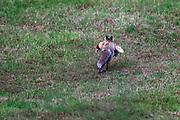 Fuchs mit Huhn im Maul.