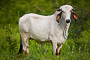 Jeceaba_MG, Brasil...Detalhe de um gado no pasto em Jeceaba...Detail of a cattle in the pasture in Jeceaba...Foto: JOAO MARCOS ROSA /  NITRO