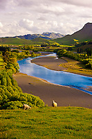 Sheep grazing in the Tuki Tuki Hills (with the Tukituki River and Te Mata Peak in back), near Napier, Hawkes Bay, north island, New Zealand