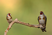 European goldfinch (Carduelis carduelis) perched on a twig. These birds are seed eaters although they eat insects in the summer. Photographed in Israel in April