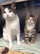 """Homeless Kitten Born without Eyelids Gets Sight-Saving Surgery<br />  <br /> A homeless kitten born without upper eyelids is seeing with new eyes after successful surgery at Angell Animal Medical Center, the MSPCA-Angell announced today. <br />  <br /> """"Phil,"""" as the three-month-old kitten has come to be called by MSPCA staffers, is recovering at the organization's Boston adoption center, from where he—along with his best friend, a fellow cat named """"Vixen""""—will be placed for adoption in the coming weeks.<br />  <br /> Painful Birth Defect<br /> The MSPCA's Boston adoption center manager, Alyssa Krieger, first came across Phil and Vixen at the Boston Animal Control shelter in Roslindale on Nov. 24.  """"I was immediately struck by Phil's personality, in addition to the unusual situation surrounding his yes,"""" she said.  """"Even though his lack of eyelids caused painful irritation, he was still a typical and playful kitten.  We were eager to get him back to Angell where we knew he could get the operating he needed to save his sight.""""<br />  <br /> Krieger agreed to take both Phil and his friend back to the MSPCA, after which she booked a consultation with Dr. Martin Coster of the Angell Ophthalmology team. <br />  <br /> Dr. Coster agreed to perform surgery to repair the condition, known as agenesis, by way of a novel operation.  """"A cat's upper eyelid is very similar in form and function to the tissue in their lip,"""" he said.  """"By taking some tissue from Phil's lip and attaching it to the muscles that enable him to blink, we can, in effect, reconstruct his missing eyelids.""""<br />  <br /> Without the surgery, constant irritation brought on by dry and itchy eyes could lead to ulceration and, eventually, complete blindness.<br />  <br /> Dr. Coster performed the surgery on Dec. 9 and is encouraged by how well the procedure had gone.  """"I expect Phil to recover completely and there's no reason to believe he won't have a long and healthy life—with the pain and discomfort of his co"""