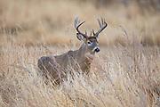 Whitetail deer during autumn rut in Wyoming Whitetail deer (Odocoileus virginianus) during the autumn rut