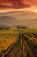 Sunset light over vineyards in fall along the Silverado Trail near Oakville, Napa County, California