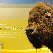 North American prairie exhibit with bison at the Smithsonian Institution's National Natural History Museum in Washington DC.