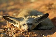 Bat-eared fox (Otocyon megalotis) | Trotz der enormen Größe seiner Ohren gehört der Löffelhund (Otocyon megalotis) weltweit zu den kleinsten Vertretern der Hundeartigen. Mit einem Körpergewicht von 3 bis 4 kg ist er eher vergleichbar mit einer Hauskatze. Genetisch gesehen ist er allerdings noch erstaunlicher, denn er unterscheidet sich stärker als zu erwarten wäre von seinen Verwandten, den Füchsen und den Wölfen. Die im südlichen Afrika lebenden Löffelhunde werden oft auf Farmland am Rande der Wüste (z.B. der Namib) angetroffen, da durch die Besiedlung und Nutzung dieser Gebiete die großen Raubtiere wie z.B. Löwen, Leoparden und Geparden praktisch völlig verdrängt worden sind.