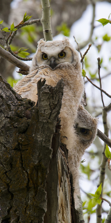 A Great Horned Owlet takes a peek from the safety of a sibling.