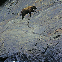 TIBET. Goat-like takin climbing cliff above rapid in Yarlung Tsangpo River (Brahmaputra) in Tsangpo Gorge, one of earth's deepest canyons.