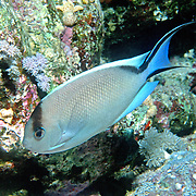 Zebra Angelfish inhabit reefs. Range Red Sea to Maldives and N. Sumatra, Indonesia, picture taken Red Sea.