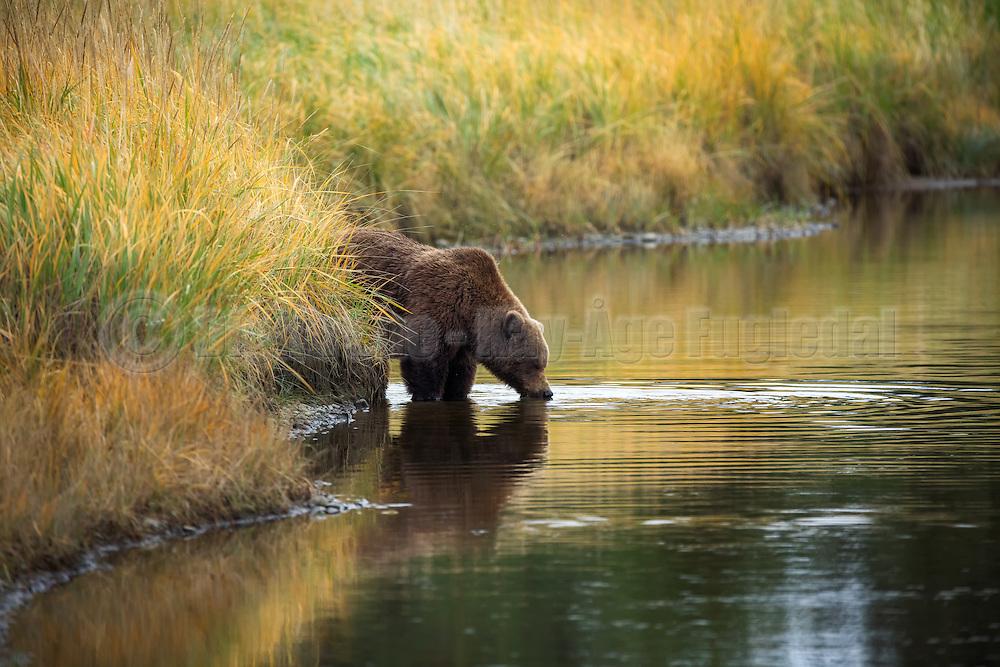 Brown bear drinking water in beautiful surroundings, Silver Salmon Creek, Alaska | Brunbjørn (Grizzly) som drikker vann i vakre omgivelser.