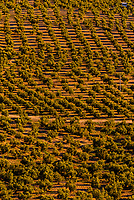 Olive groves, Granada Province, Andalusia, Spain.