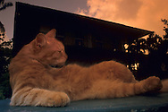 "USA, Vereinigte Staaten Von Amerika: Hauskatze (Felis catus domesticus), Felidae, Katze liegt entspannt auf einem Kartentisch und zelebriert den ?key-westy? Lebensstil, Hemingway Haus im Hintergrund, Hemingway Haus und Museum, Key West, Florida | USA, United States Of America: Domestic cat (Felis catus domesticus), Felidae, cat laying relaxed on a garden table celebrating ""key-westy"" lifestyle, Hemingway house in the back, Hemingway Home and Museum, Key West, Florida 