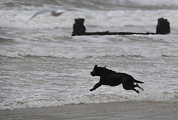 © Licensed to London News Pictures. 08/02/2019. Bognor Regis, UK. A dog leaps into the waves as winds pick up on the beach at Bognor Regis as the effects of Storm Erik are felt in the south of the UK. Photo credit: Peter Macdiarmid/LNP