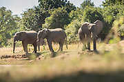 African elephants in Mana Pools National Park, Zambia