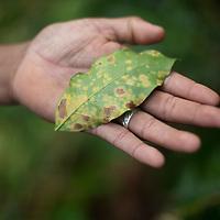Leaf rust, known as La Roya in Honduras, has had devastating effects on coffee production.