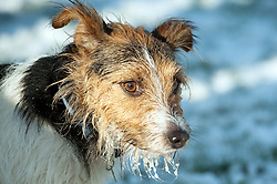 one black, white and tan Jack Russell terrier dogs in a snowy park <br /> 9 Aug 2010 .Images © Paul David Drabble..