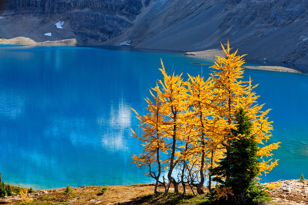 Western larches in autumn colour with McArthur Lake, Yoho National Park, BC, Canada