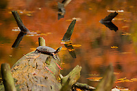 """""""Painted Turtle"""" .Fall views at Walden Pond.  An Eastern Painted Turtle (Chrysemys picta) basks on a fallen tree at Wyman Meadow."""