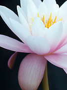 Nymphaea 'Pink Sensation' - waterlily
