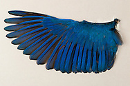 The wing of a Beach Kingfisher (Halcyon saurophaga) in the Burke Museum of the University of Washington, Seattle, Washington