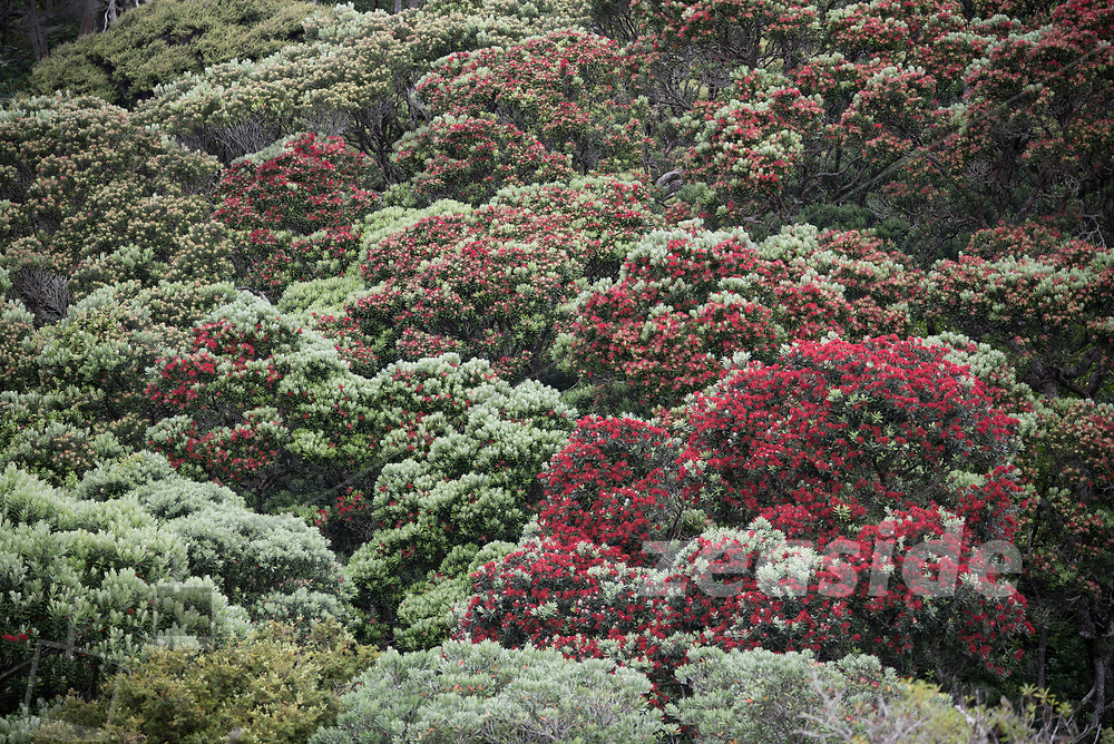 Lush coastal vegetation, with Pohutukawa, Flax and Cabbage Trees, amongst others, Tui song and ocean roar - Whatipu Beach at the south-western corner of Auckland's west coast.