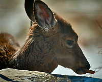 Young, sickly looking deer on my patio. Image taken with a Nikon D5 camera and 600 mm f/4 VR lens (ISO 100, 600 mm, f/4, 1/1250 sec).