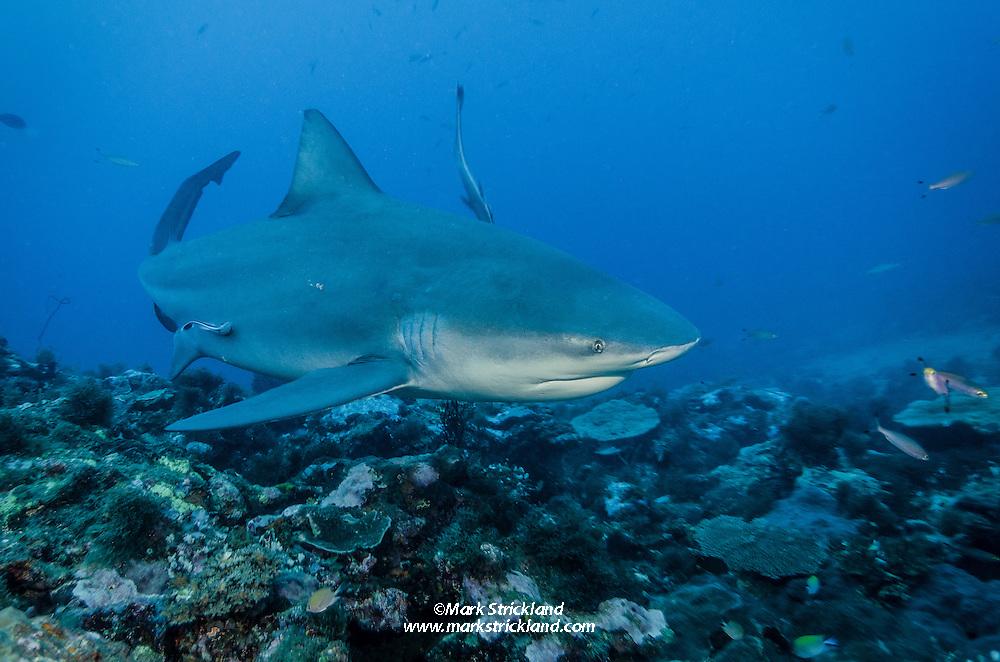 Bull Shark, Carcharhinus leucas, patrolling a deep reef. Beqa Lagoon, Viti Levu, Fiji, Pacific Ocean