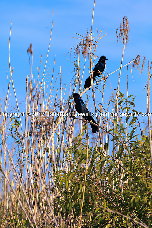 A pair of grackles or blackbirds perch in tall reeds in a slough on the Anhinga Trail in Everglades National Park, Florida. WATERMARKS WILL NOT APPEAR ON PRINTS OR LICENSED IMAGES.