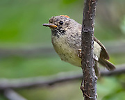 Ruby-crowned kinglet, Regulus calendula, Sandia Mountains, New Mexico