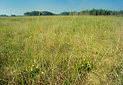 Small white lady's-slipper (Cypripedium candidum)<br />Tolstoi Tall Grass Prairie Preserve<br />Manitoba<br />Canada