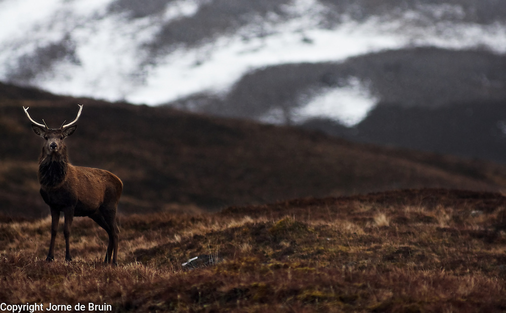 A red deer stands on a ledge with mountains in the backdrop in the Alladale reserve in Scotland