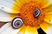Two snails on a Crown Daisy (Chrysanthemum coronarium), April, Kritsa, Crete