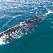 This is a bowhead whale (Balaena mysticetus) relaxing at the surface in shallow water. It is a member of the endangered Sea of Okhotsk subpopulation, about which little is known. The population is thought to number in the low hundreds, but data is minimal. Note the rake marks from orcas visible on the front of the whale. Orcas in this area are known to target these whales.