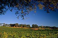 Moon over vineyards at MonteVina Winery, near Plymouth, Shenandoah Valley, Amador County, California