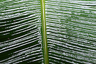 """Banana leaves, Steaming rainforest in Misool, Gam river, Raja Ampat, Western Papua, Indonesian controlled New Guinea, on the Science et Images """"Expedition Papua, in the footsteps of Wallace"""", by Iris Foundation"""