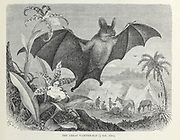 The Great Vampire-Bat From the book ' Royal Natural History ' Volume 1 Section II Edited by  Richard Lydekker, Published in London by Frederick Warne & Co in 1893-1894
