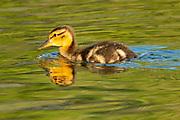 Mallard duck (Anas platyrhynchos)  gosling<br />Winnipeg<br />Manitoba<br />Canada