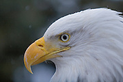 Bald Eagle, Haliaeetus leucocephalus, Portrait, snow, Kenai Peninsula, Homer Spit, Homer, Alaska. Digital original, #2006_0384 ©Robin Brandt